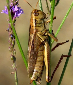 grasshopper, which holds to a stem